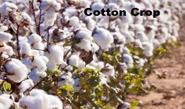 Photo of Some Informative Detail about Cotton Crop