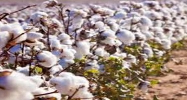 How To Increase Cotton Crop Yield