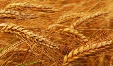 New hybrid China Wheat Seed in Pakistan Update